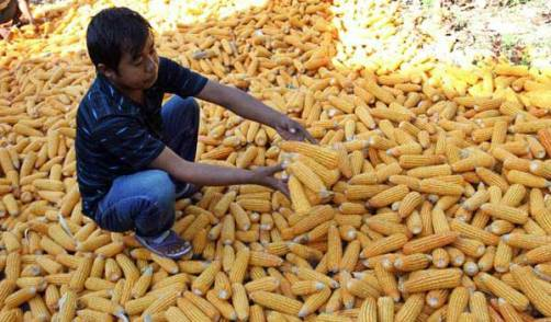 Pemprov Sulsel, Siap Gelontorkan 900 Ton Bantuan Benih Jagung