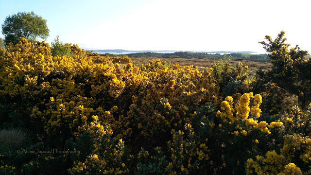 gorse landscapes, Connemara