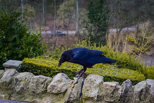 Things to do in Knaresborough - Knaresborough raven sat on the Castle ruins
