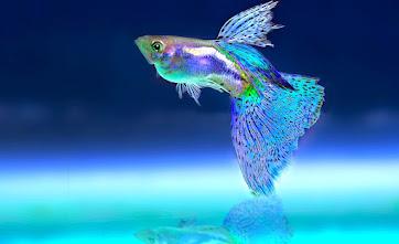 Mengenal Ikan Guppy