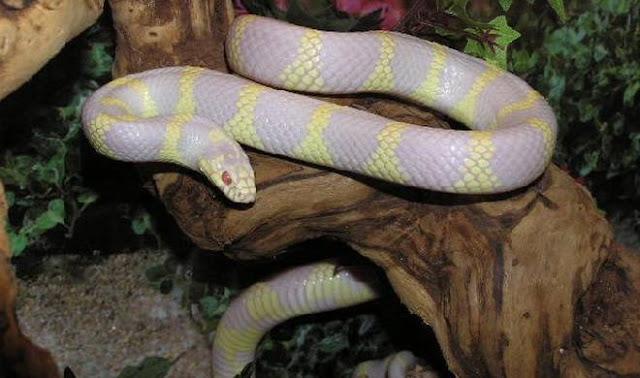 albino kingsnake