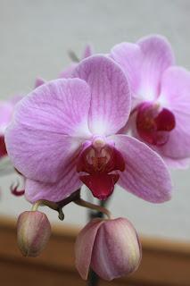 einfache Pflege für Orchideen