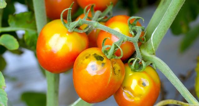 Πελοπόννησος: Ανησυχεί την Περιφέρεια ο ιός της καστανής ρυτίδωσης στις ντομάτες
