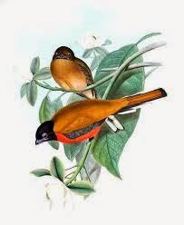 trogon canela Harpactes orrhophaeus