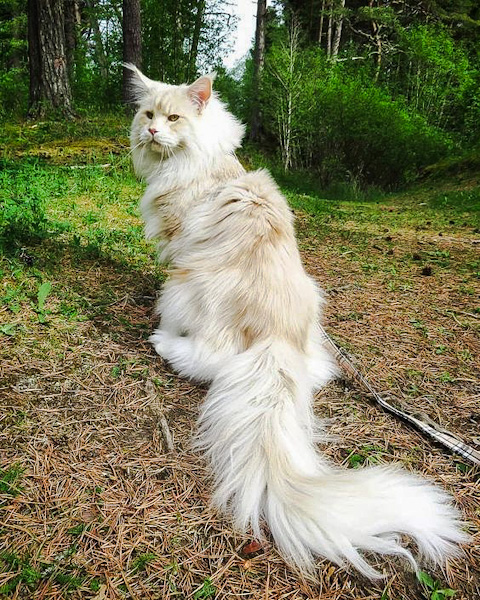 Lotus a huge Maine Coon with a superb plumed tail as expected