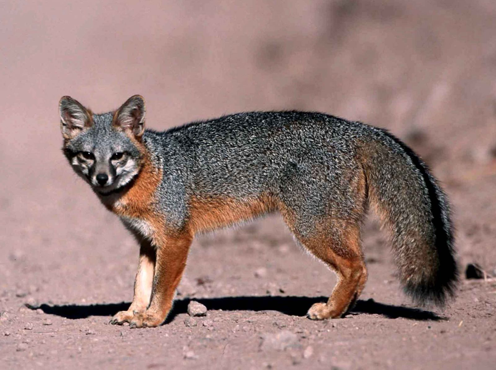 Bio227fall2015 06 Santa Catalina Island Fox