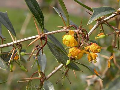 Espina amarilla (Berberis laurina)