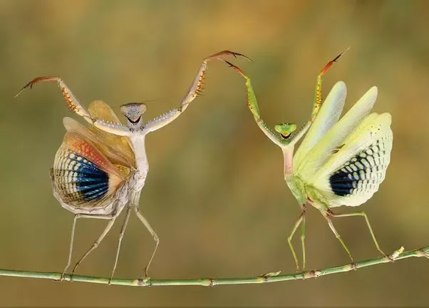 two praying mantids on a branch - they look like they are dancing but they are probably fighting.