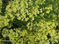 Creamy yellow flowers, flower show - Kyoto Botanical Gardens, Japan