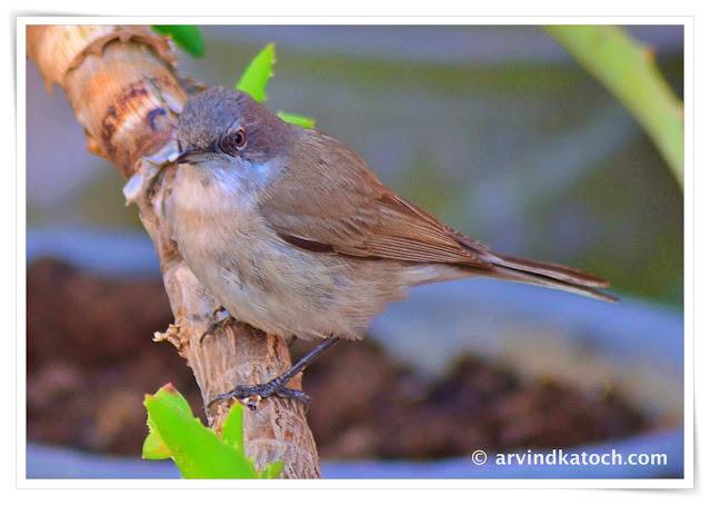 warbler,