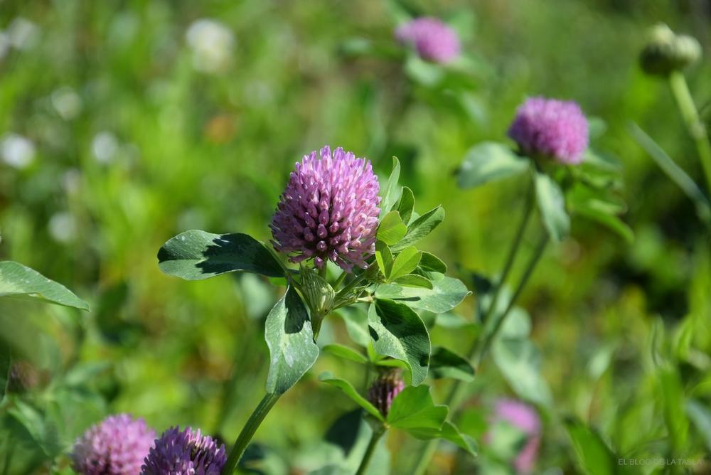 trébol rojo o trébol violeta, herbácea vivaz para praderas de flores silvestres