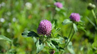 Trifolium pratense (trébol rojo o trébol violeta), plantas vivaces para praderas de flores silvestres
