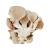 Buy Pure Culture Grey Oyster Mushrooms-Pleurotus Sajorcaju