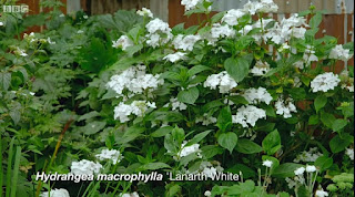 Gardeners World Hydrangea 'Lanarth White