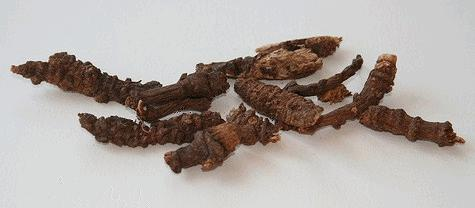 Củ Khương Hoạt - Rhizoma Notopterygii - Nguyên liệu làm thuốc Chữa Cảm Sốt
