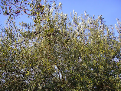 寝屋川公園 紅葉ウォーキング オリーブの木