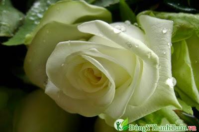 Cách chữa bệnh viêm họng bằng hoa hồng trắng