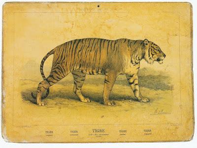 Tigre, image Hachette, illustration CH. O. de Penne, 37 cm x 20 cm (CANOPE)