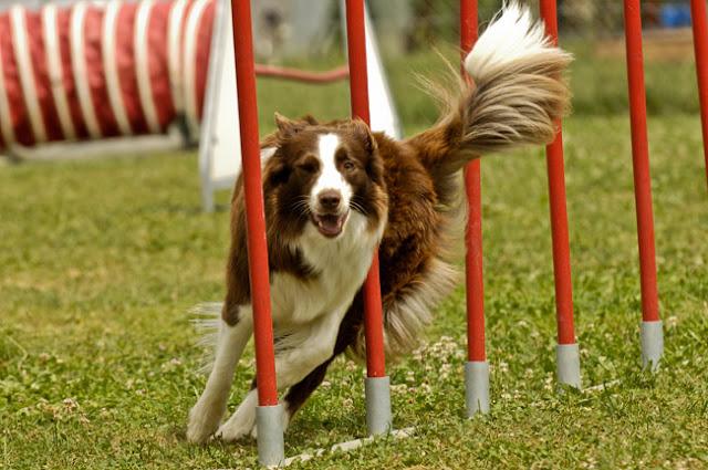 Διεθνείς αγώνες σκύλων εργασίας στο Ναύπλιο