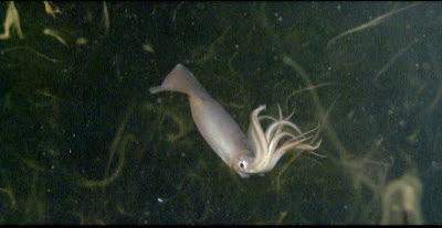 Humboldt squid are bad boys, but at feeding time, they have a unique method of evolution-defying communication.