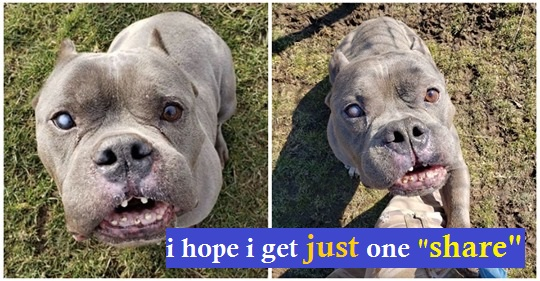 Help! 'Ugly' pit bull just wants a home, but no one will adopt him because of how he looks