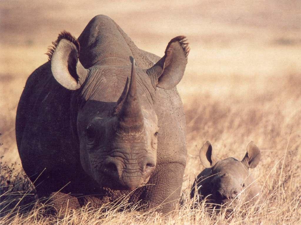 Little Cute Baby Girl Wallpaper Baby Rhino Animal Photo