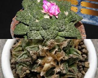 Ariocarpus fissuratus Kaktus Unik