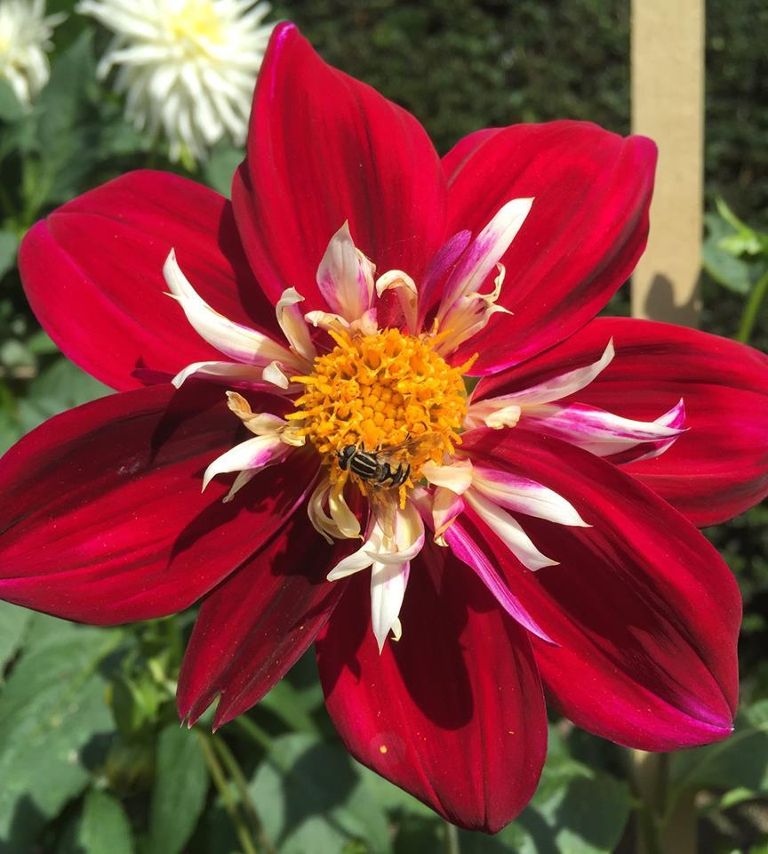 flor de dalia roja y blanca