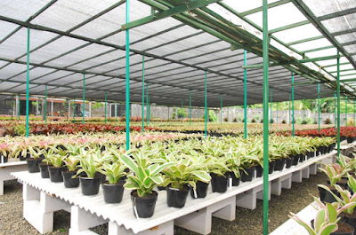 Tukang Taman Surabaya How to Take Care of Bromelia