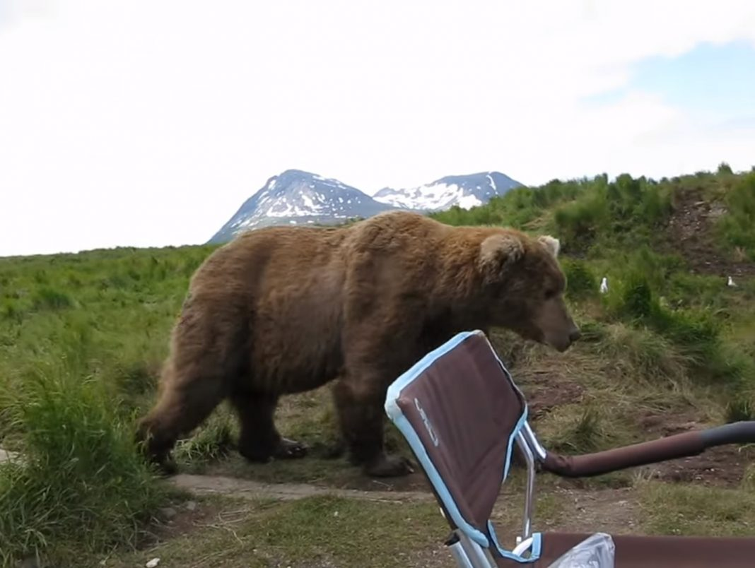 Wild Brown Bear Shocks Man By Casually Sitting Near Him During Camping
