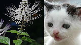 9 Manfaat Kumis Kucing dan Cara Pengolahannya Buat Obat