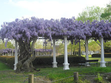 Wisteria - West Point, Mississippi