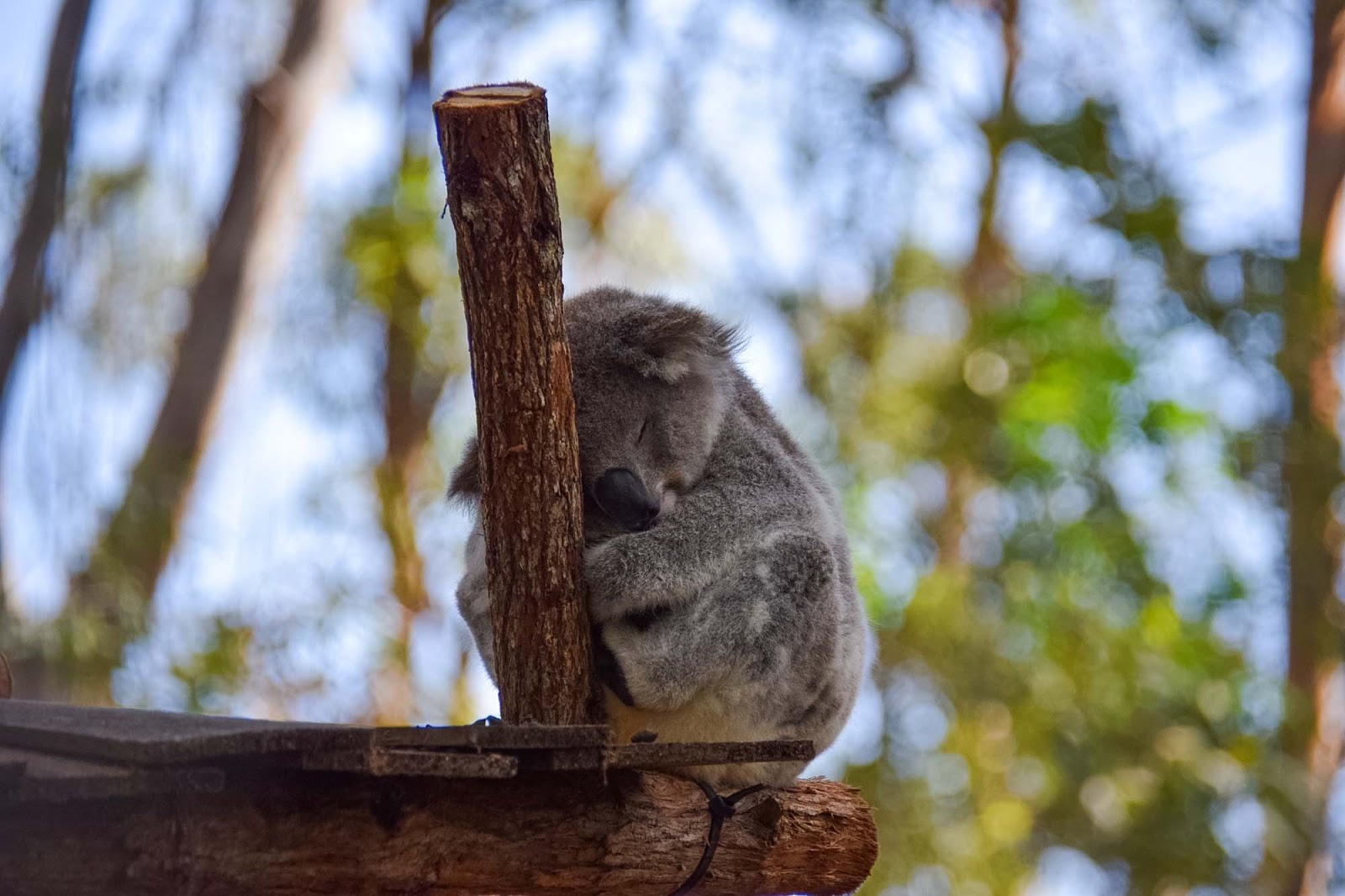 port macquarie koalas