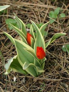 Tulipa praestans 'Unicum'