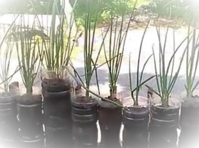 cara menanam daun bawang dalam pot
