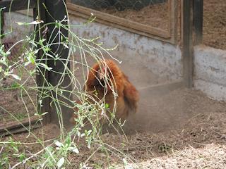 hen taking a dust bath