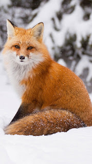 Fox in Snow Mobile HD Wallpaper