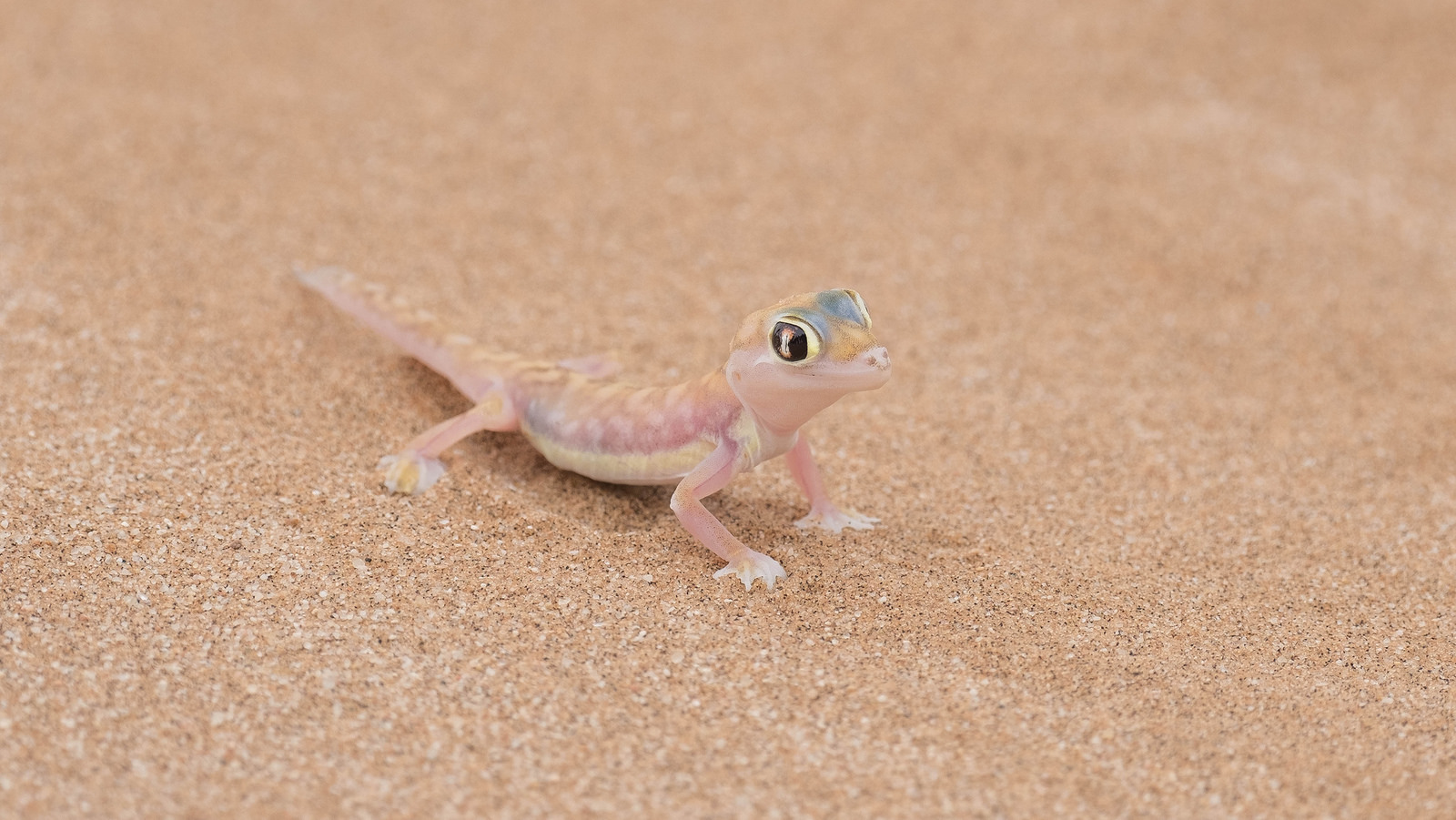 Web Footed Gecko Cutest Gecko Ever Drinks Water From Its