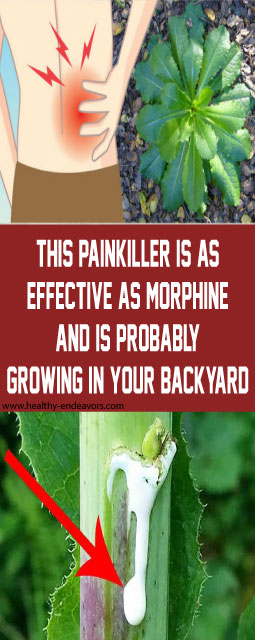 THIS PAINKILLER IS AS EFFECTIVE AS MORPHINE AND IS PROBABLY GROWING IN YOUR BACKYARD