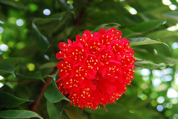 É uma planta que mantém suas folhas durante todo o ano, aprecia temperaturas amenas, mas é capaz de suportar luz direta de áreas abertas, desde que seja semi-sombreadas na fase jovem. E Pode ser cultivada em vasos!