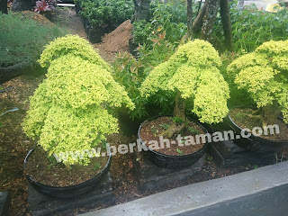 haga bonsai legistrum jabodetabek