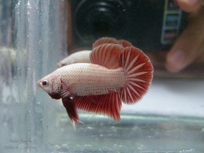 Image Plakat Dragon Betta Fish