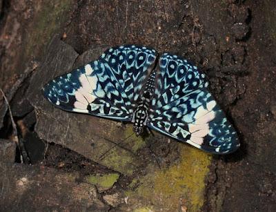 Mariposa chasqueadora rojiza (Hamadryas amphinome)
