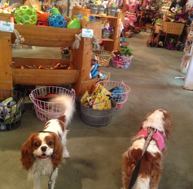 Blenheim Cavalier King Charles Spaniels in dog store in Carmel, California