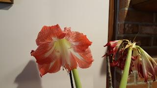 amaryllis declining