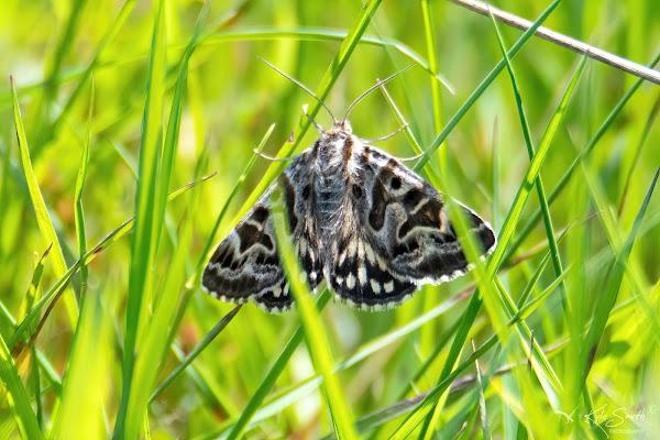 Mother Shiton moth