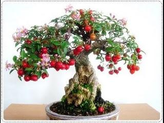 bonsai cherry tree with fruit, cherry bonsai tree for sale, how to grow a cherry blossom bonsai tree from seed, bonsai cherry tree seeds, cherry fruit bonsai, cherry bonsai tree care, cherry blossom bonsai tree indoor, cherry bonsai from seed