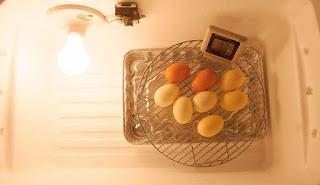 lama waktu penetasan telur pada unggas
