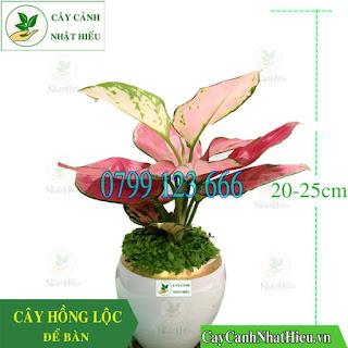 Cây hồng lộc để bàn đẹp cao 20-25cm