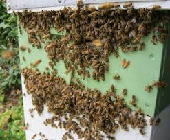 Λεηλασία μελισσοκομείων